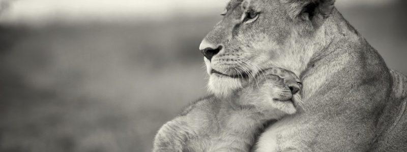 Source: http://picpetz.com/2012/03/15/wallpaper-lion-family-love/